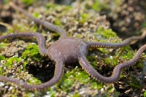 Smooth brittle star Ophioplocus esmarki