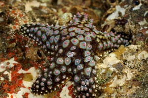 Giant-spined sea star Heliaster giganteus