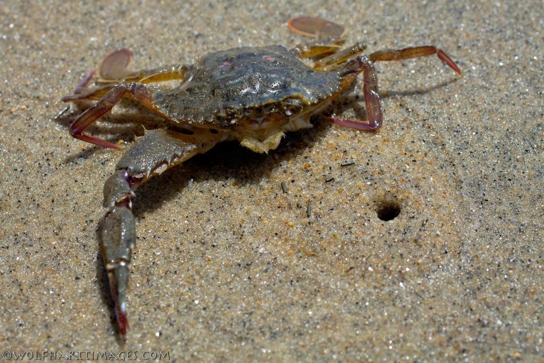 Swimming crab, Portunus xantusii