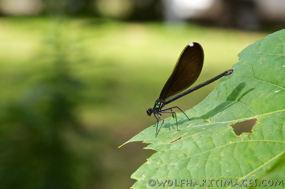 Ebony Jewelwing, Calopteryx maculata