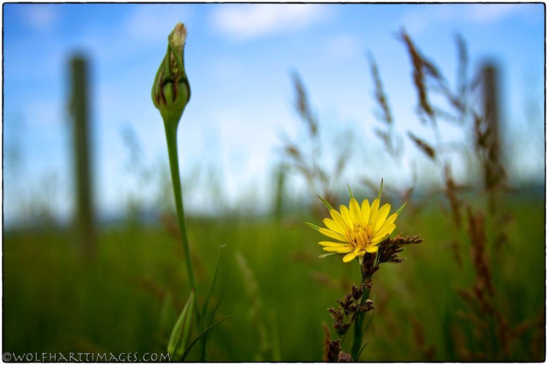 Teton Valley Yellow salsify