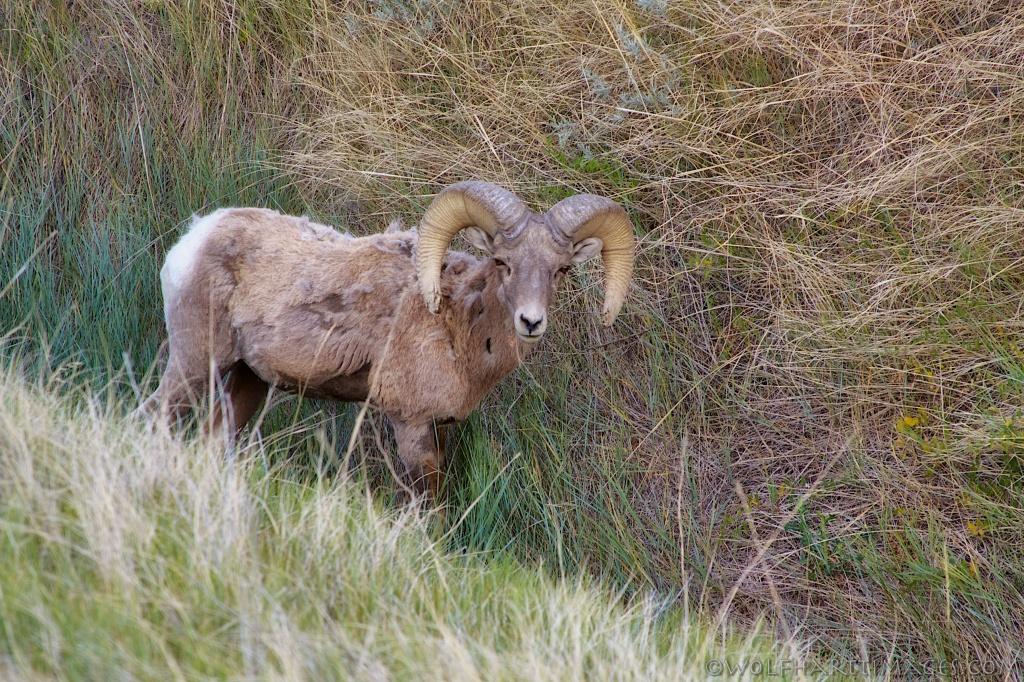 Bighorn sheep Badlands National Park