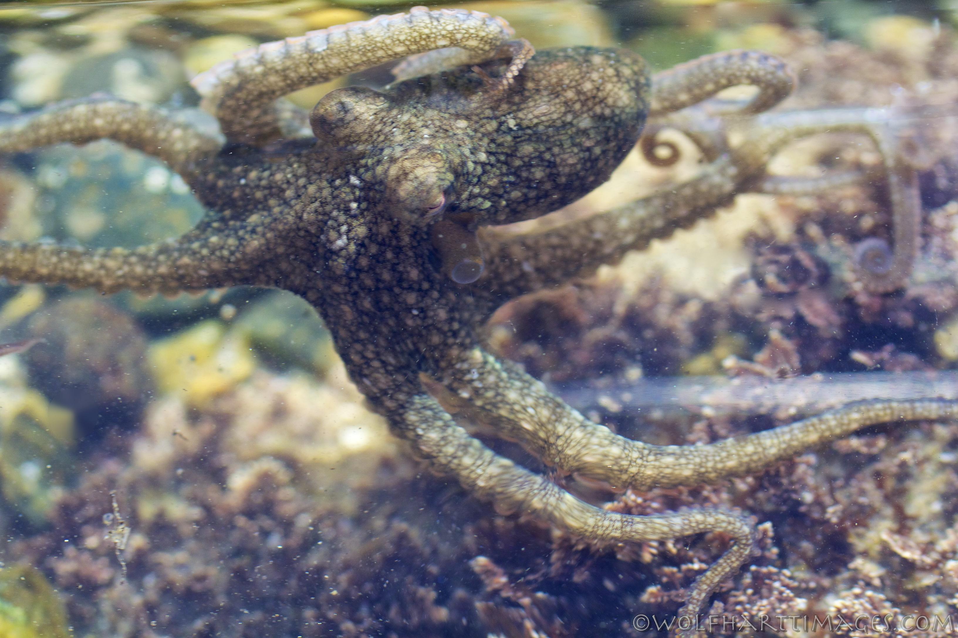 california 2spot octopus � wolfhartt images