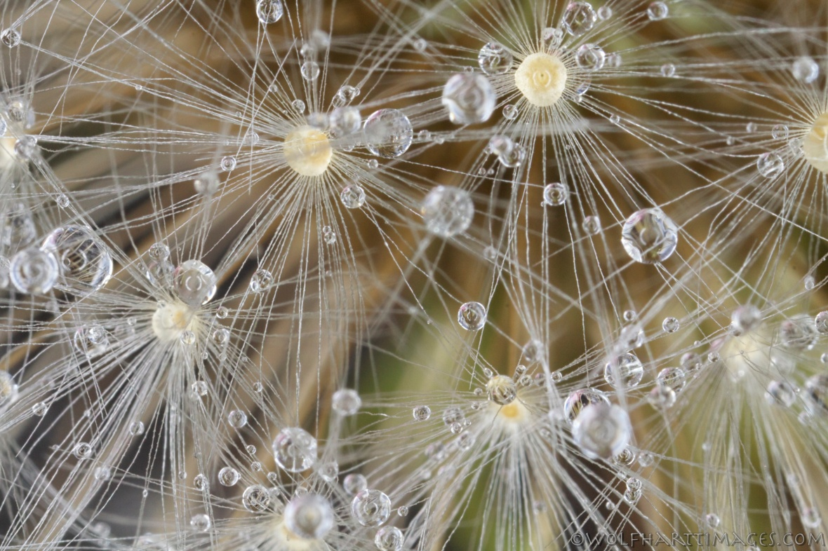 Dandelion, seed head, macro, dew, seeds