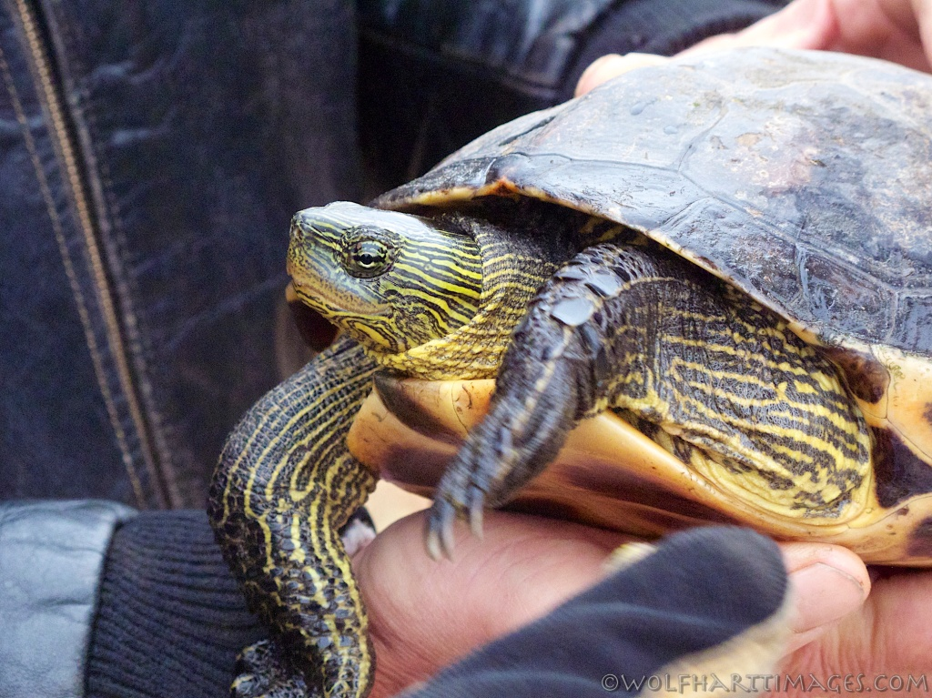 Chinese Striped-neck turtle, Ocadia sinensis
