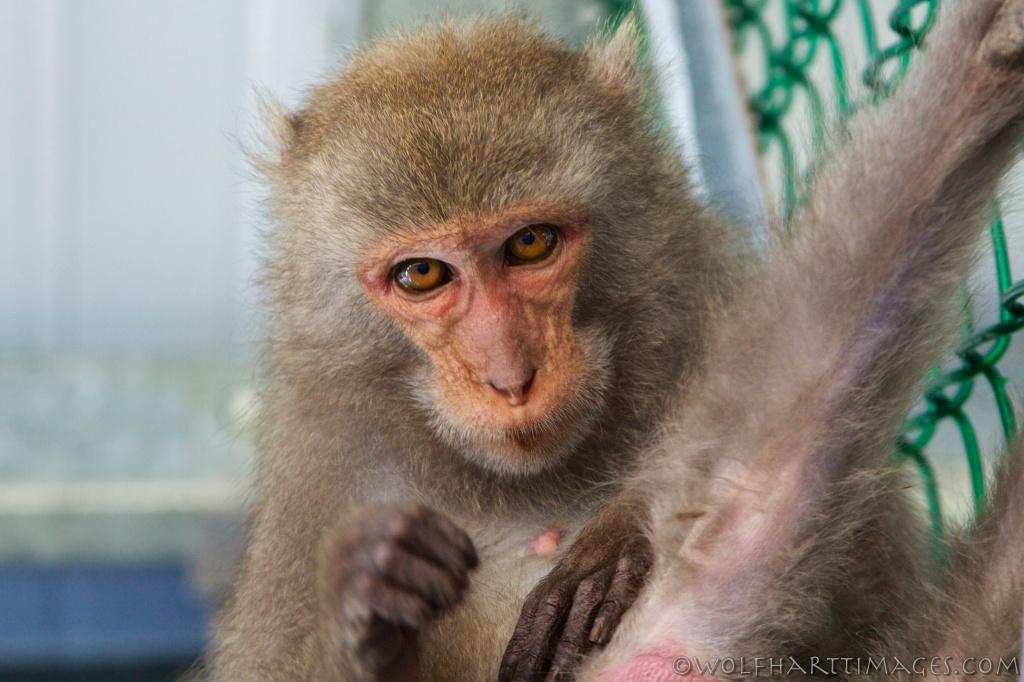 Macaca cyclopis, Taiwan Macaque