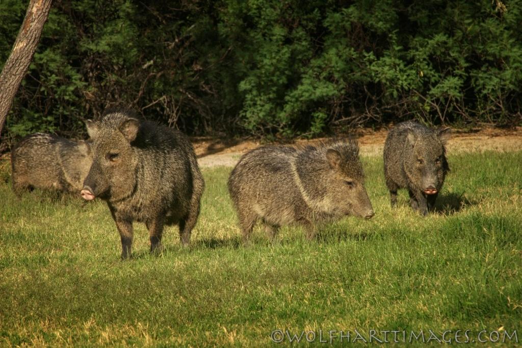 Javelina, Collared Peccary, Tayassu tajacu, Big Bend National Park