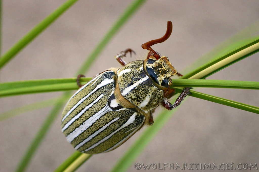 Great Sand Dunes National Park, Ten-lined June Beetle, Polyphylla decemlineata