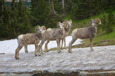 Glacier National Park, bighorn sheep