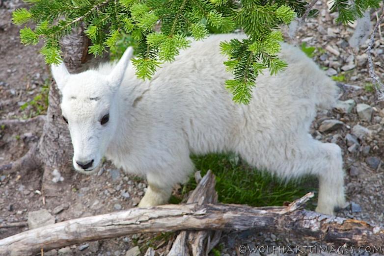Mountain goat calf, Glacier National Park