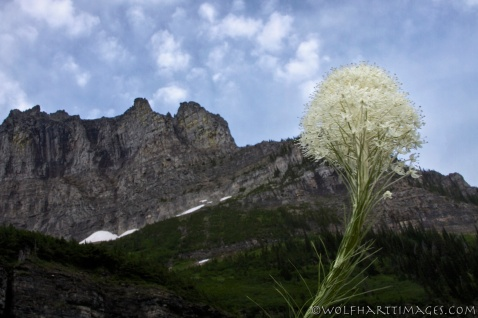 Glacier National Park, beargrass