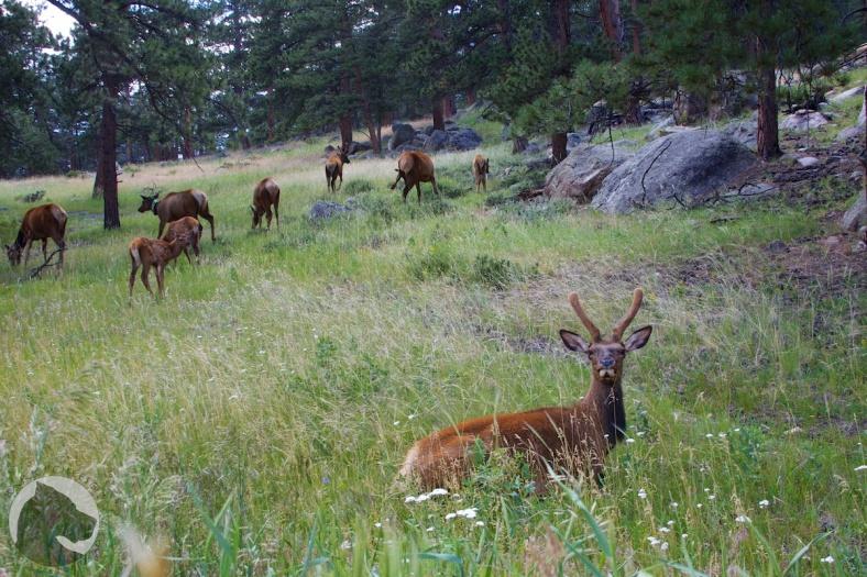 Rock Mountain National Park elk herd
