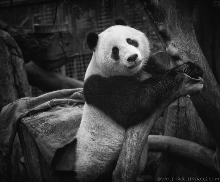 Ailuropoda melanoleuca, Panda, Xiao Liwn