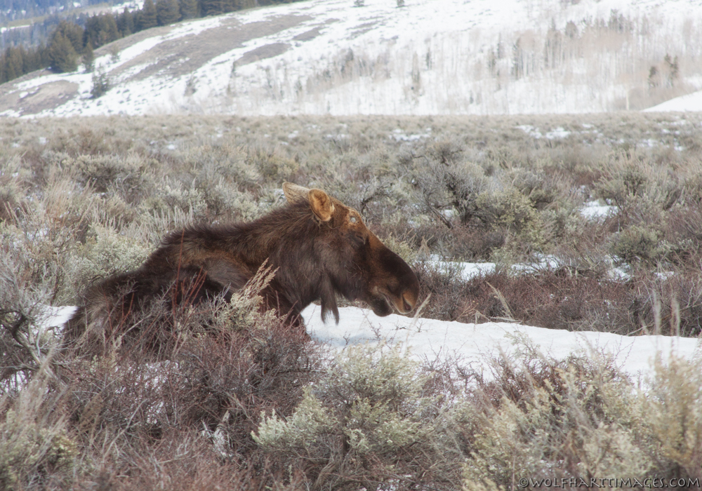 A moose trying to take a nap by the roadside near the Gros Ventre